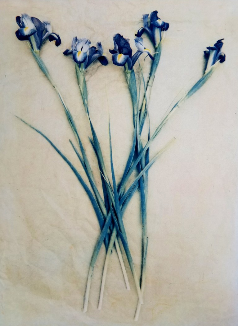 Iris in Bloom © Diana Bloomfield