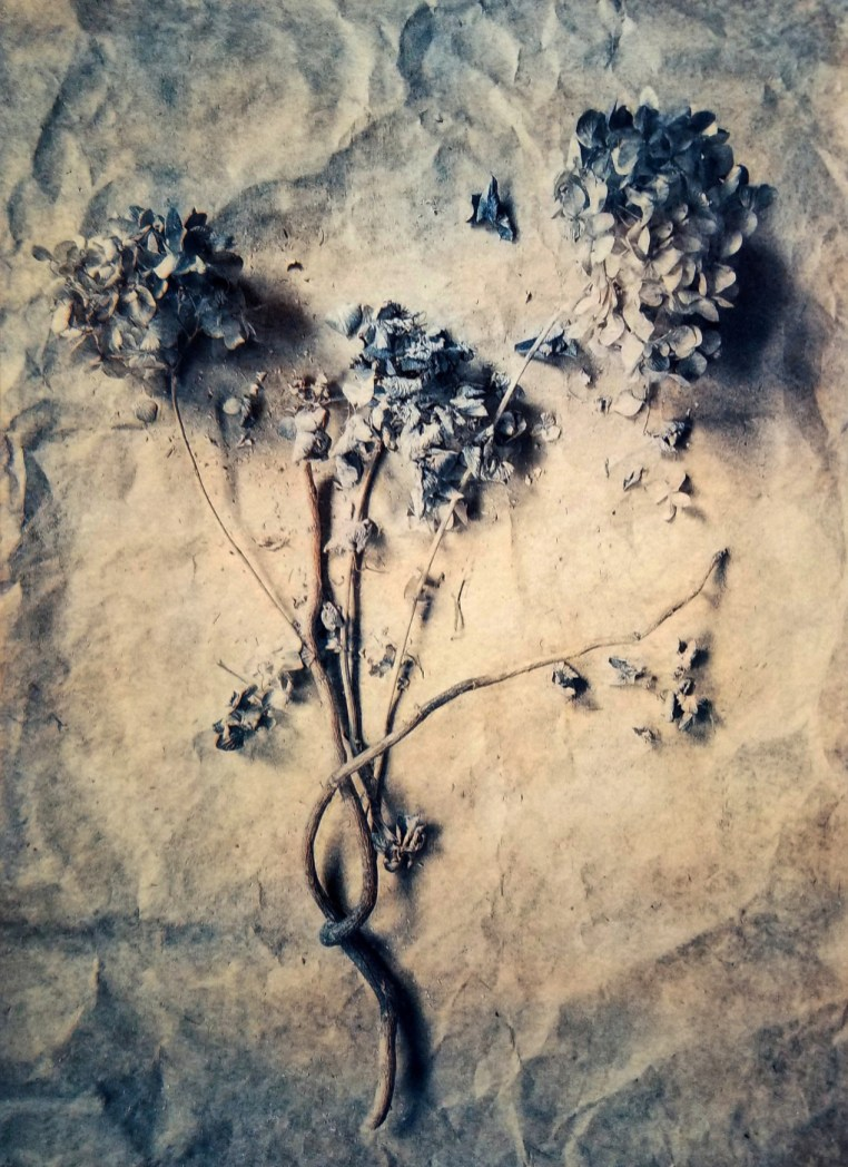 Hydrangeas © Diana Bloomfield
