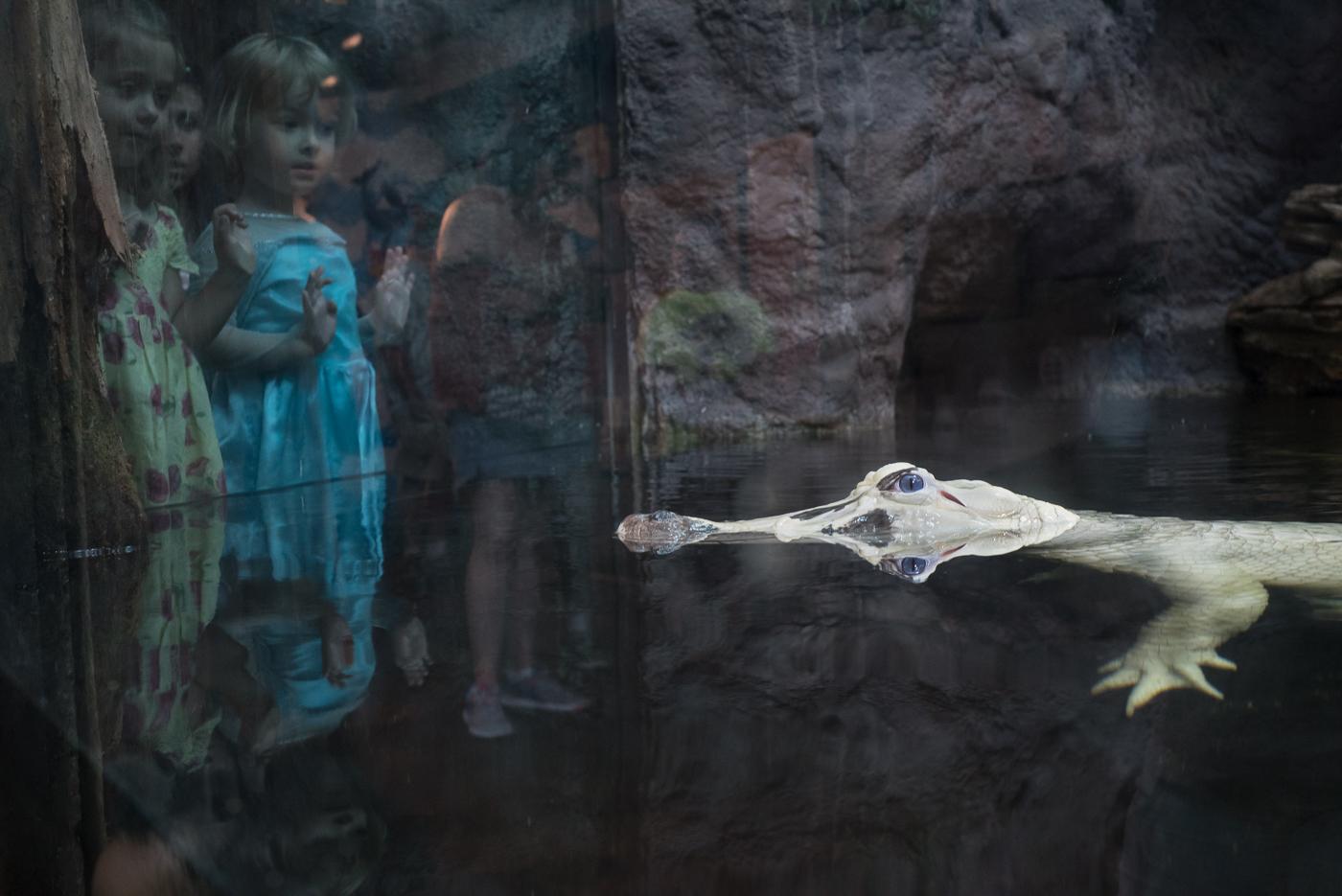 Leucistic Alligator © Karen Bullock