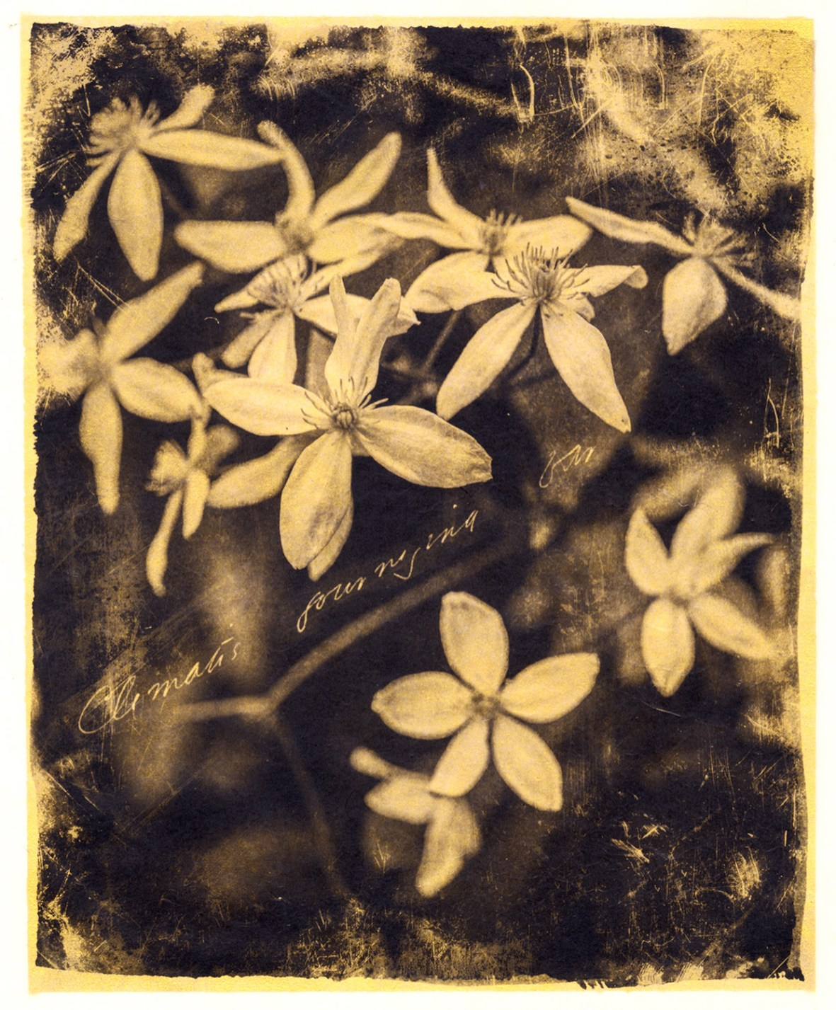 Clematis Journeying Far © Brigitte Carnochan