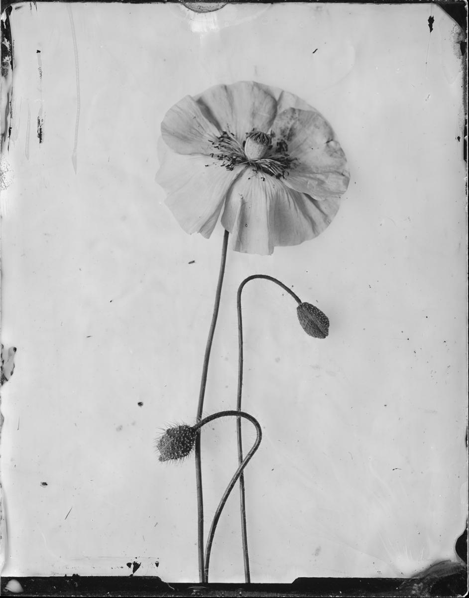 Papaver somniferum © Emilija Petrauskienė