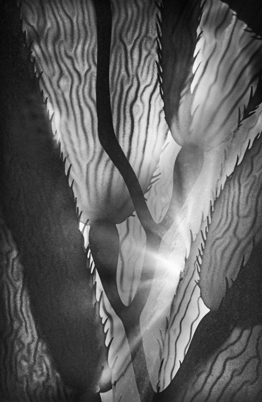 Giant Kelp © Chuck Davis
