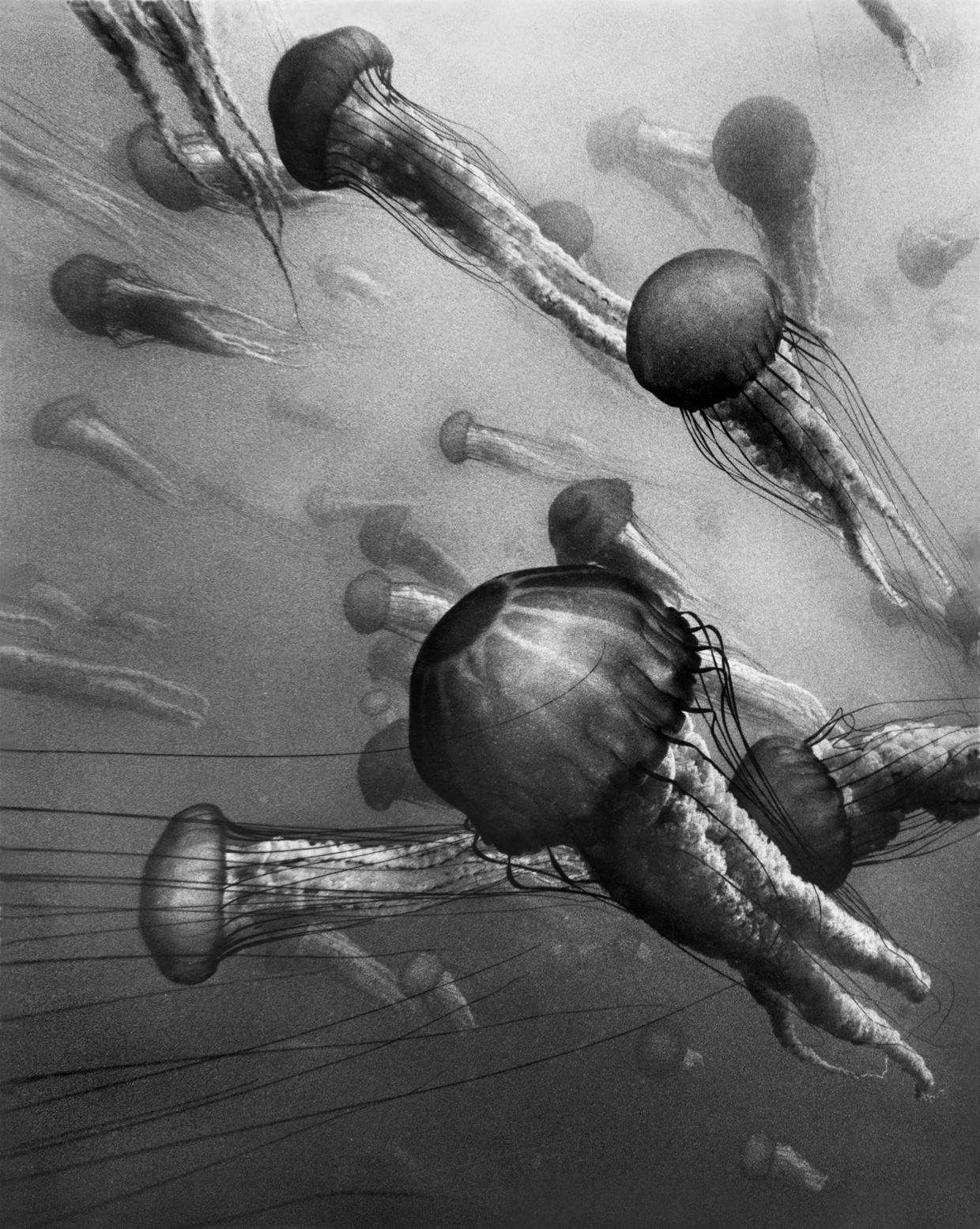 Sea Nettles #7, Point Lobos © Chuck Davis