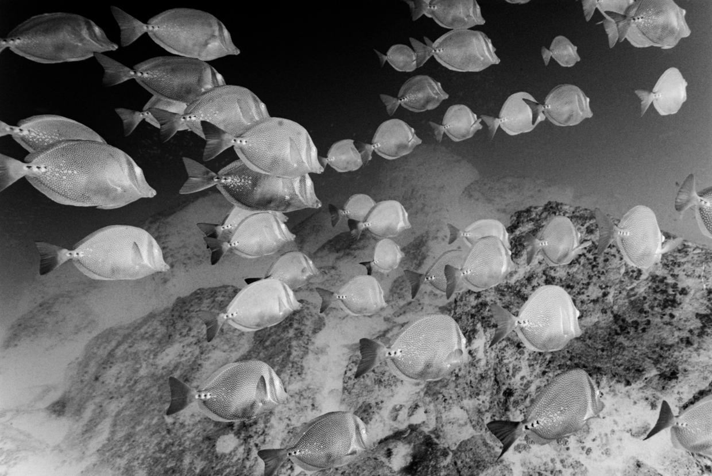 Yellowtail Surgeonfish © Chuck Davis