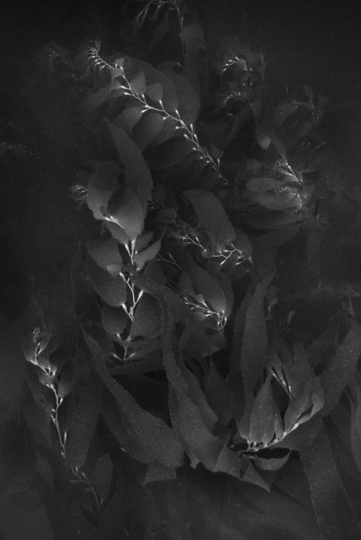 Young Giant Kelp Fronds © Chuck Davis