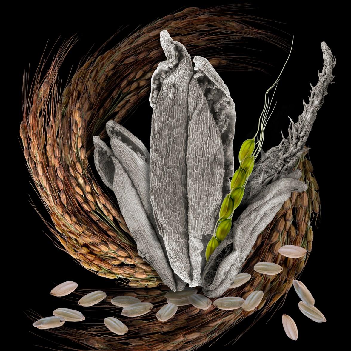 Lifecycle Rice © Robert Dash