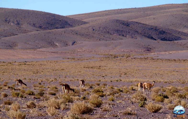 Os Camelídeos do Deserto de Atacama RG Local