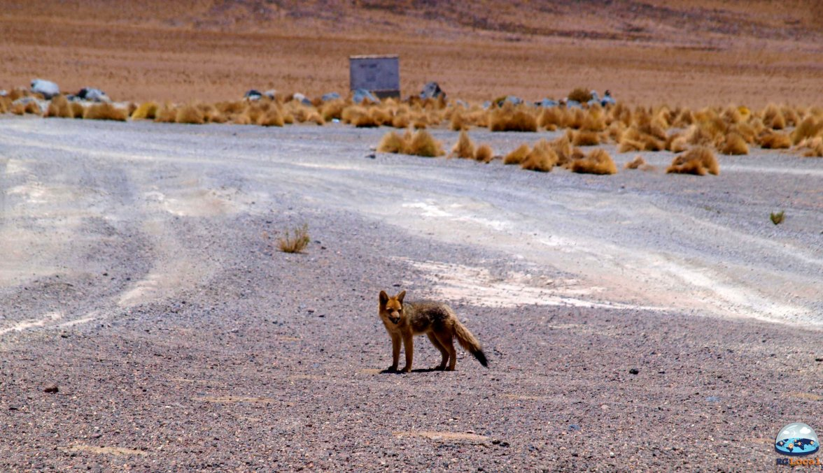 Zorra, a Raposa do Deserto de Atacama RG Local
