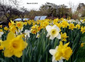 same daffodils same day 2012!
