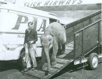 THIS PACHYDERM ARRIVES READY TO PERFORM ON SLICK CARGO AIRWAYS, THE LARGEST AIR FREIGHT SERVICE FOR MANY YEARS