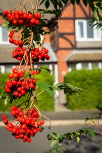 Urban autumn - red brick, red berries