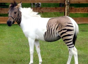 Zony, or, more correctly, a zebroid