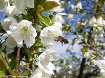 Biene im Anflug auf eine Kirschblüte.