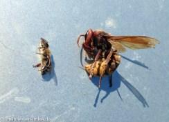 Größenvergleich Biene / Hornisse