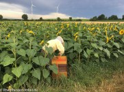 "Das Bienenvolk ""wandert"" in die Sonnenblume."