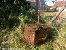 Die Bienen sammeln sich am Schwarmfangkasten