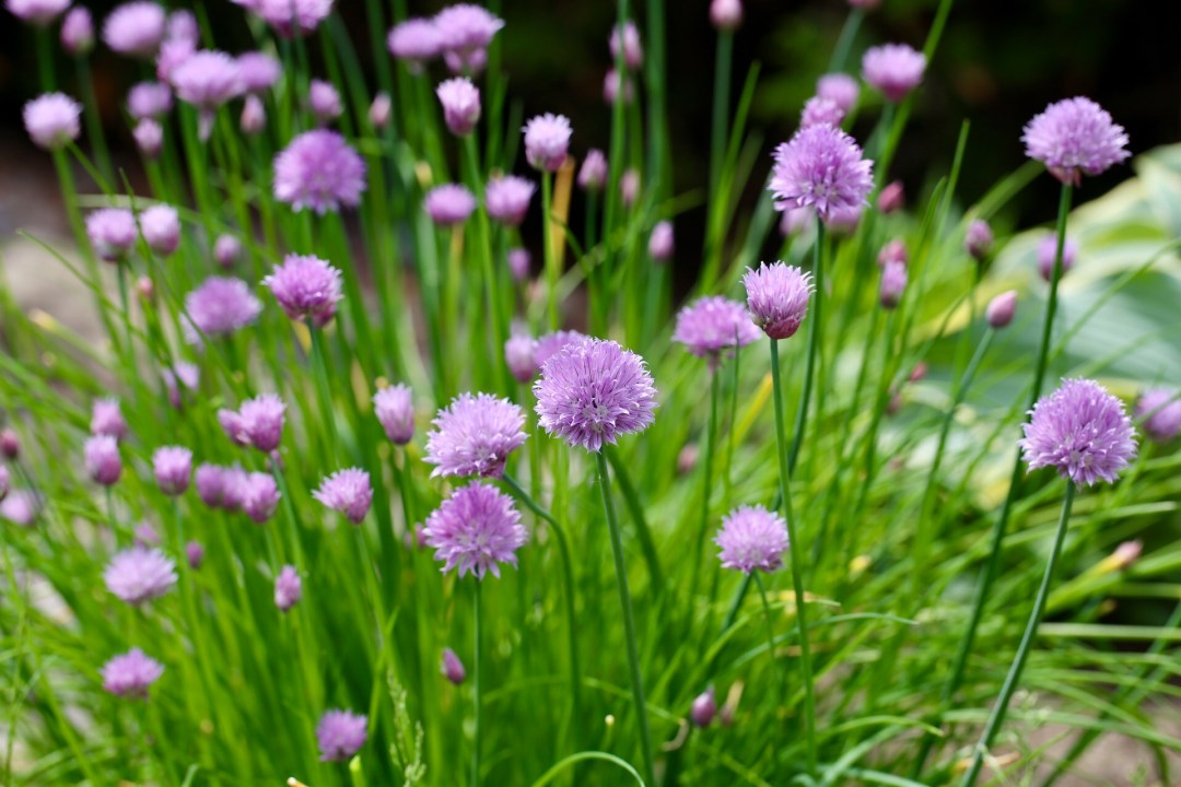 Beautiful chive blossom's from my mom's garden