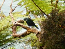 Tui!! Singing and ruffling it's feathers