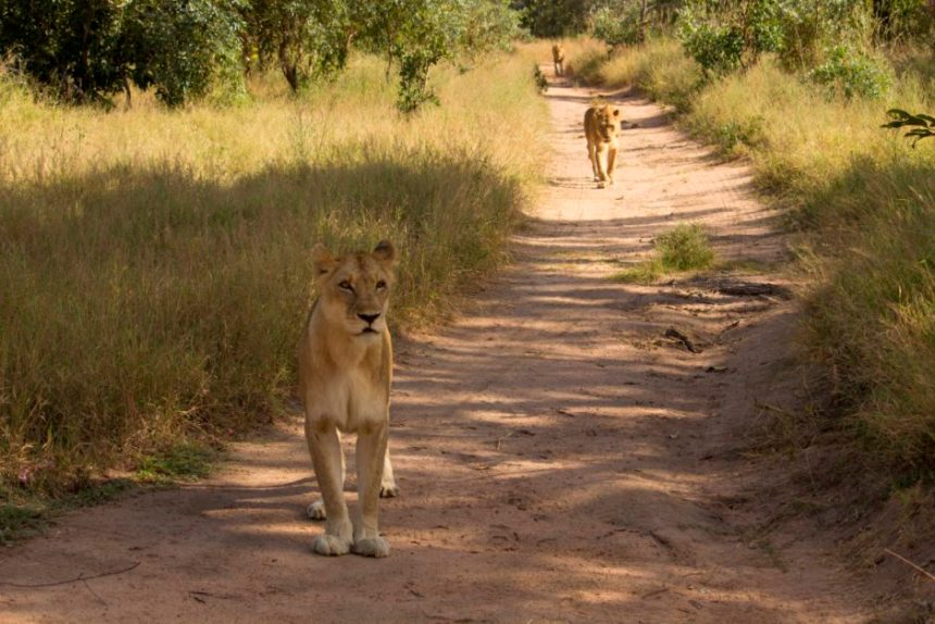 A small pride of lions in the South African bush