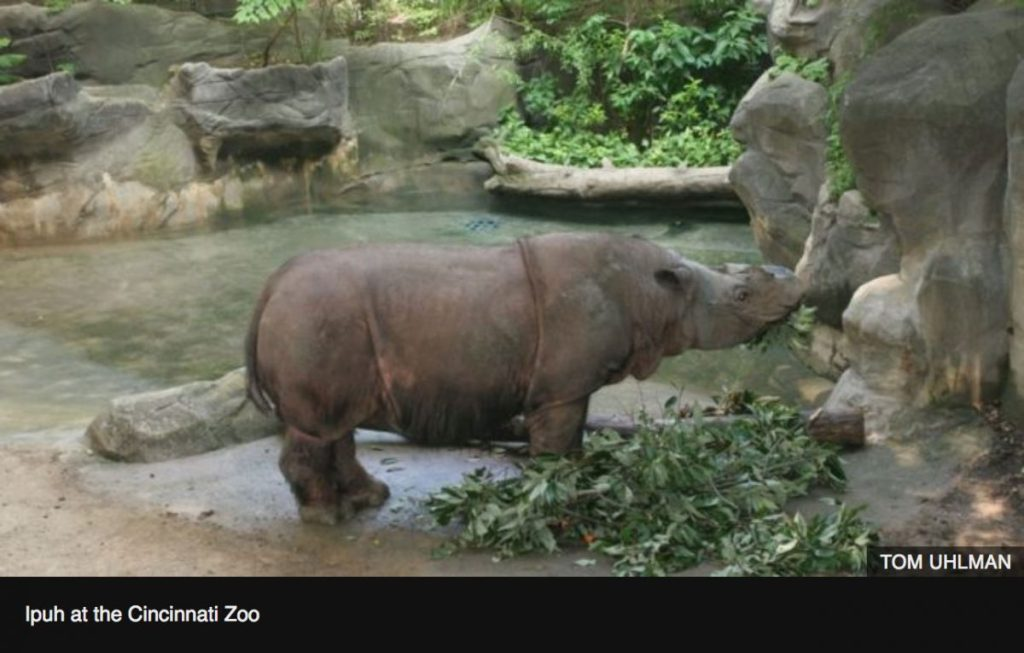 sumatrin rhino