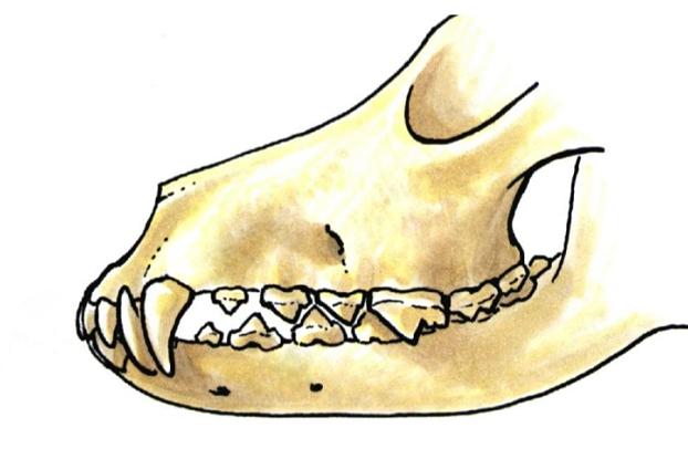Gebiss und Zähne im Wachstum eines Welpen, Hund, Fehlstellungen. Überbiss, Unterbiss, abgebrochene Zähne.