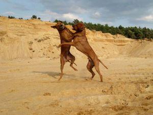 Unsere Rhodesian Ridgebacks spielen in der Sandkuhle - Bandele Bathani und Actor Aartijn.