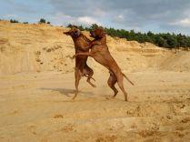 o-Unsere Rhodesian Ridgebacks spielen in der Sandkuhle, Bandele Bathani und Actor Aartijn.