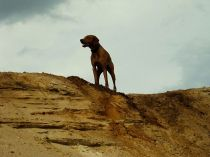 Sandkuhlenimpressionen Unsere Rhodesian Ridgebacks spielen in der Sandkuhle, Bandele Bathani und Actor Aartijn.