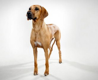 Rhodesian-Ridgeback-Video-Animal-Planet