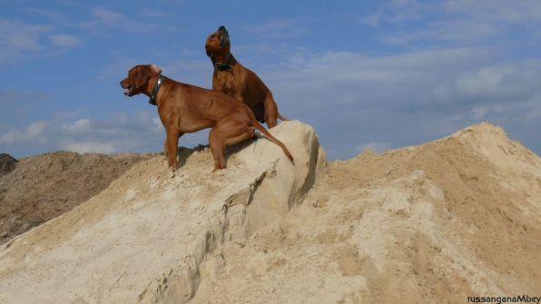 11ridgebacks im sand, schleswig-holstein, kennel tussangana mbey 'n, bettina höhfeld.