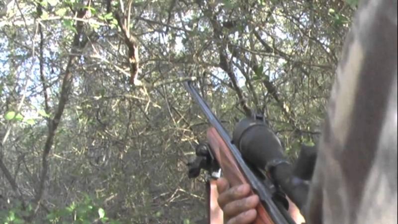 Hunting Dog, Family Dog - WAARHEID RHODESIAN RIDGEBACKS