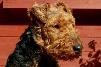 Welsh Terrier FCI