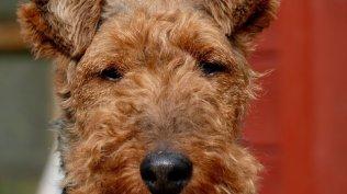 Welsh Terrier Papiere