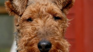 Welsh Terrier Papiere