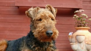 Welsh Terrier Welpen