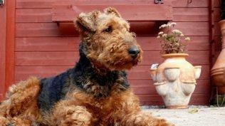 Welsh Terrier Zucht
