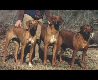 Rhodesian Ridgeback, Hunter & Guard
