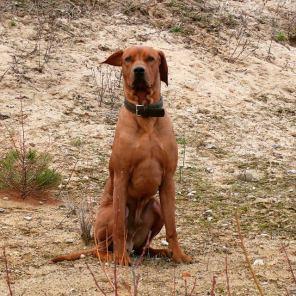 Rhodesian Ridgeback Bandele Bathani- Tipps und Tricks einen Hund zu arbeiten.