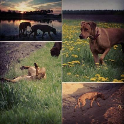 Rhodesian Ridgeback Instagram
