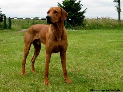 Bandele Bathani, Hund, Rhodesian Ridgeback in Schleswig-Holstein. Rasen, grün.. schöne Herbstzeit.