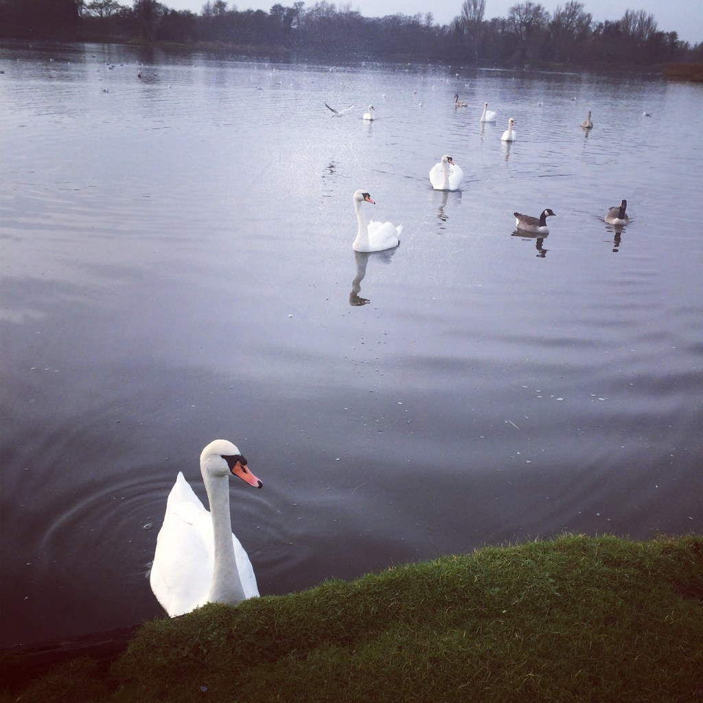 Swans Thorpeness Mere
