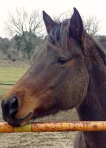 Quarterhorse Yogi's sweet face