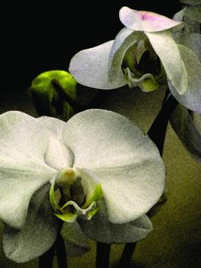 orchids001