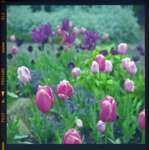 Tulips at Descanso Gardens, La Cañada Flintridge, CA
