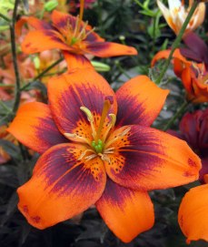 Easy Samba is a pollen-less lily with extra-wide petals flaunting an eye-catching colour combo. Photo courtesy of The Lily Nook