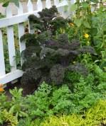 Kale as ornamental.