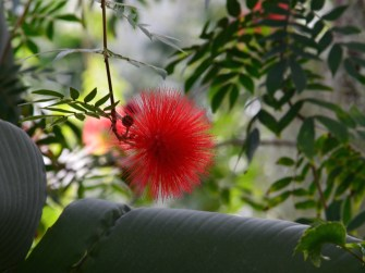 The Calliandra haematocephala, more commonly known as the aptly named Powder Puff Tree makes a great houseplant in Ontario despite hailing from Borneo. But it probably won't grow to it's natural 6-foot height like this one.