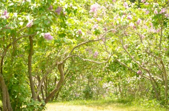 Lilacs on hill