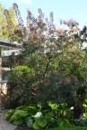 Smoketree 6