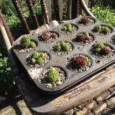 A vintage muffin tin has been planted with succulents.